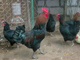Московская чёрная порода кур: описание и характеристики, фото и особенности выращивания с содержанием