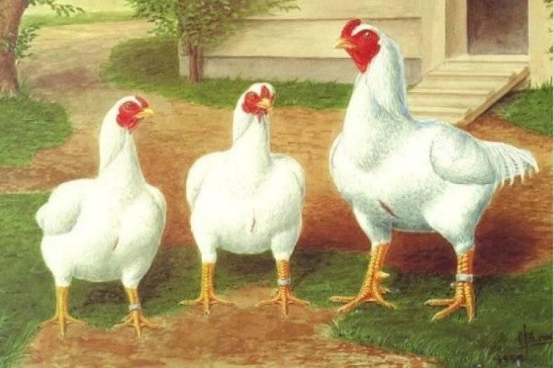 Выращивание кур корниш