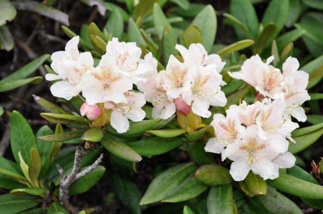 Рододендрон кавказский лечебные свойства как чай можно пить