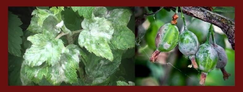 Чем обработать смородину от мучнистой росы