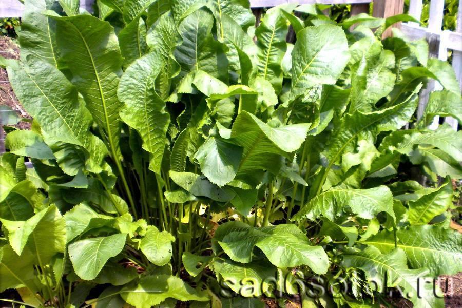 Мята перечная (mentha piperita) — описание растения
