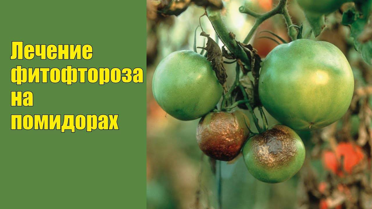 Фитофтора на помидорах: признаки и причины появления, способы лечения
