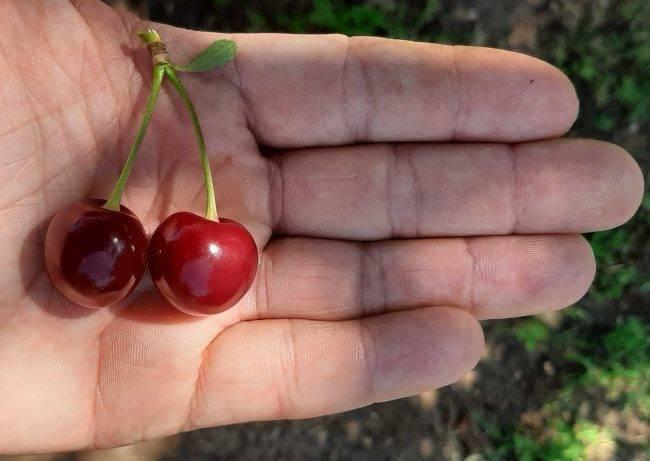 Самоплодные сорта вишни: обзор проверенных сортов для разных регионов