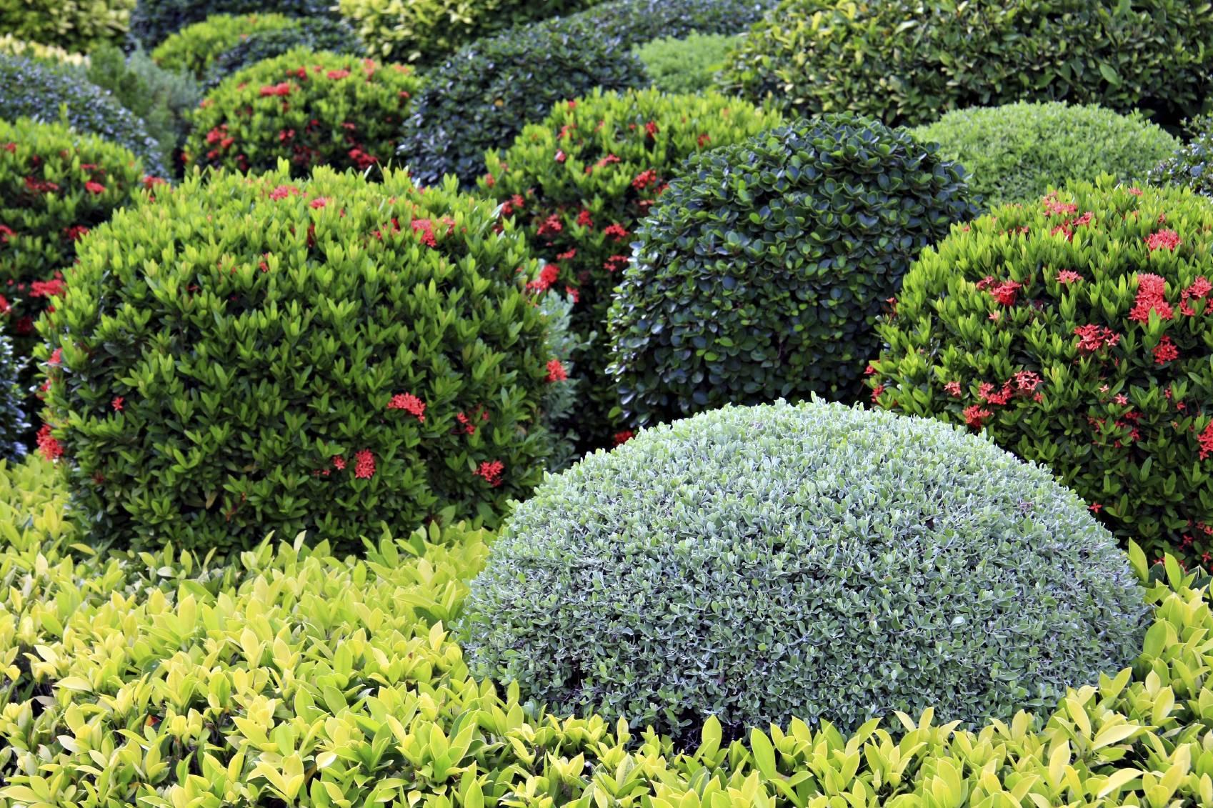 Кизильник блестящий – кустарник, который любит стричься