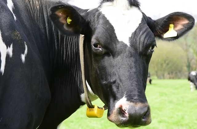Анатомия коровы