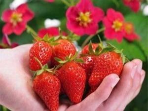 Клубника тоскана: описание сорта, агротехника выращивания, посадка и уход