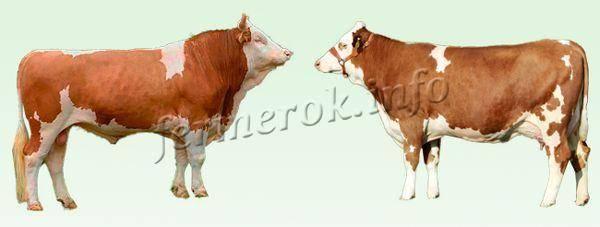 Удачный выбор для частного или фермерского хозяйства — коровы «симментальской» породы