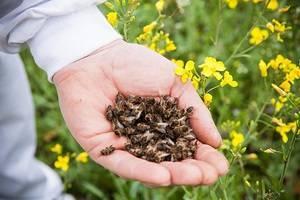 Лечение пчелами: особенности апитерапии и ее польза