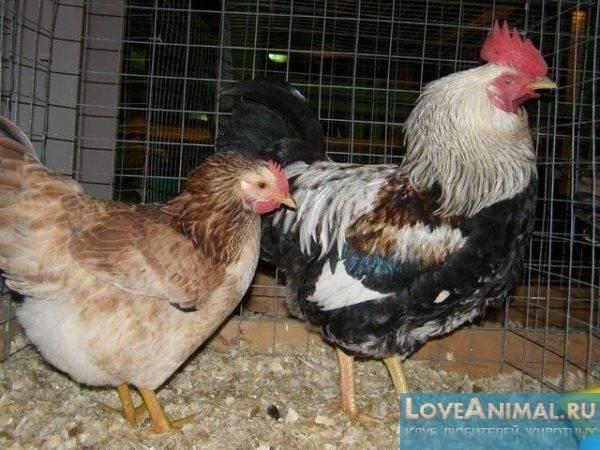 Одна из самых «юных» пород мясо-яичных кур — загорская лососевая
