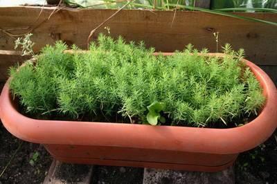 Как вырастить можжевельник из семян?