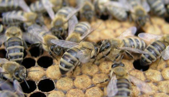 Способы и правила вывода пчелиных маток