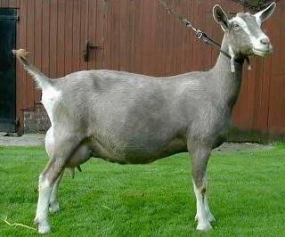 Описание тоггенбургской породы коз