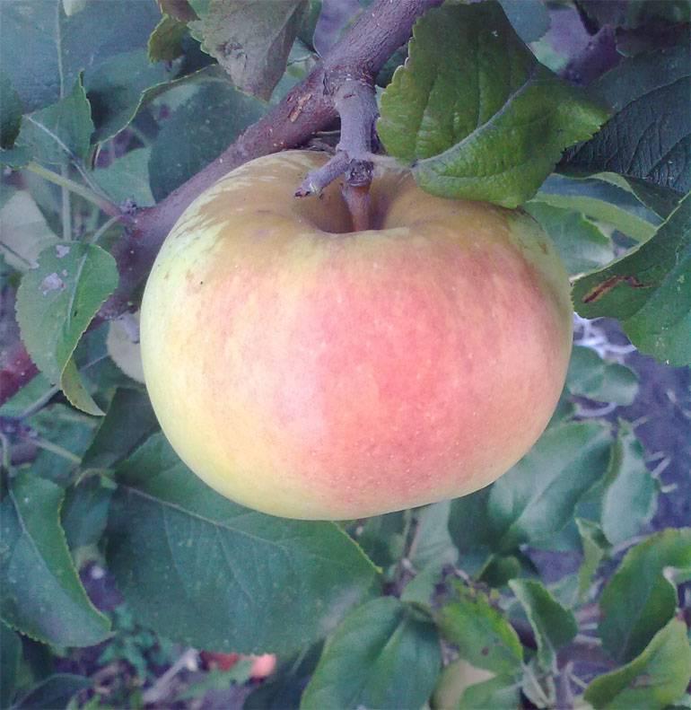 Особенности яблони «спартан»