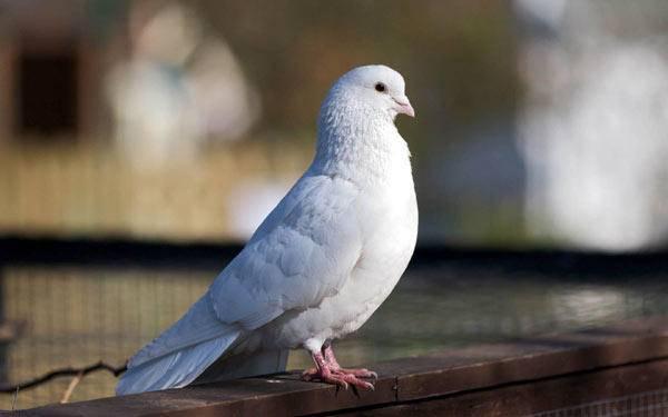 Породы голубей с фотографиями и названиями: описание и видео