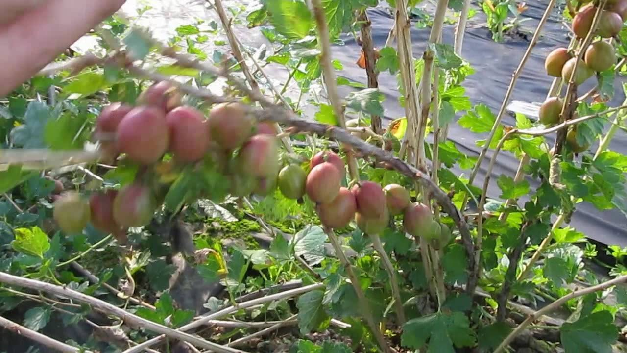 Любимица многих садоводов, слива с абсолютно чистым вкусом — сорт «ксения»