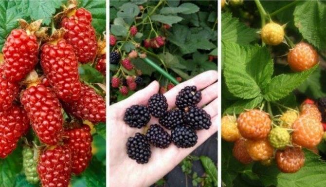Ежевика торнфри — описание сорта, выращивание, достоинства и недостатки