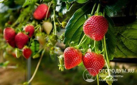 Клубника эльсанта: описание условия выращивания сорта