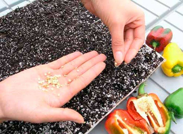 Подготовка семян перца к посеву на рассаду
