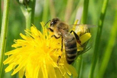 Как пчелы собирают пыльцу