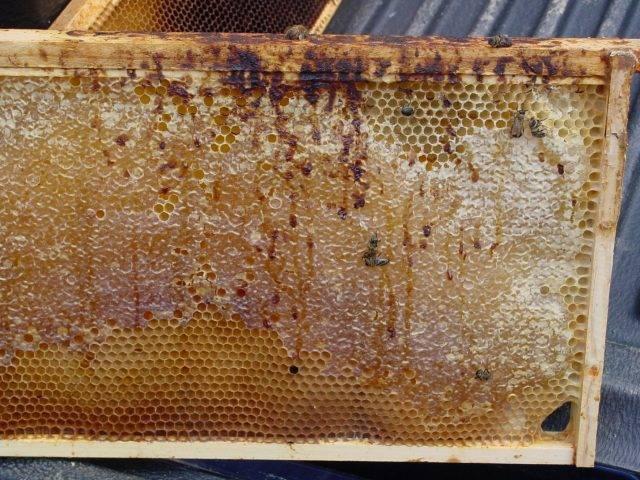 Как распознать и лечить нозематоз у пчел?