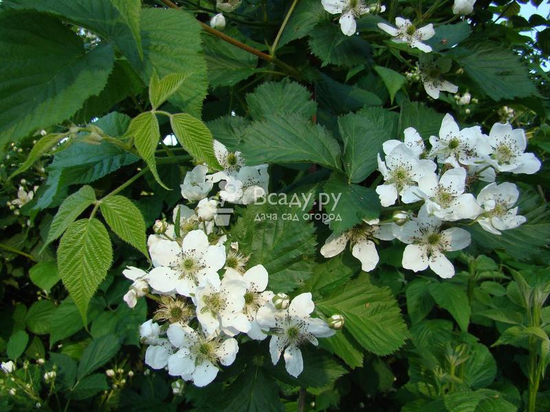 Сорт блэк сатин — посадка и выращивание на приусадебном участке