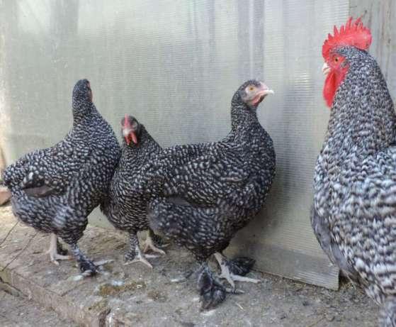 Мехеленская кукушка порода кур: характеристика, особенности разведения в домашних условиях