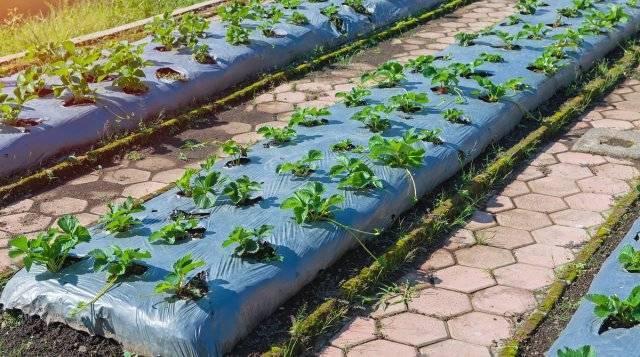 Выращивание клубники по финской технологии: особенности, преимущества, инструкция