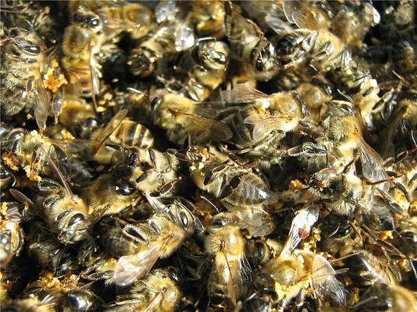 Пчелиный подмор: настойка на водке, при каких заболеваниях