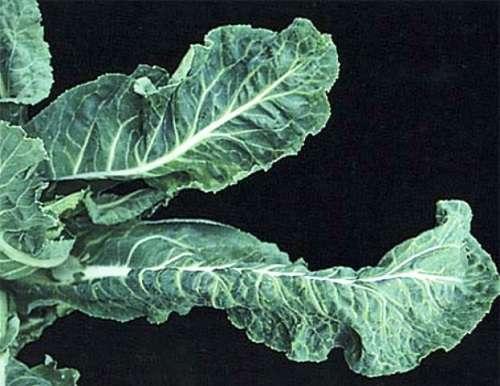 Борьба с вредителями капусты. чем обработать капусту от гусениц, тли, блошек. препараты для борьбы с вредителями капусты