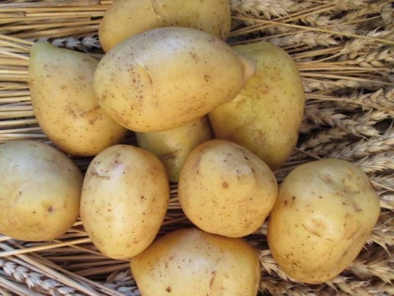 Картофель гала - описание сорта