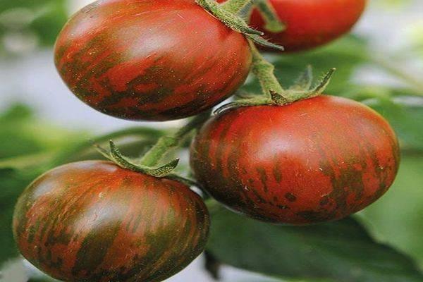 Томат санька золотой: отзывы, фото, урожайность