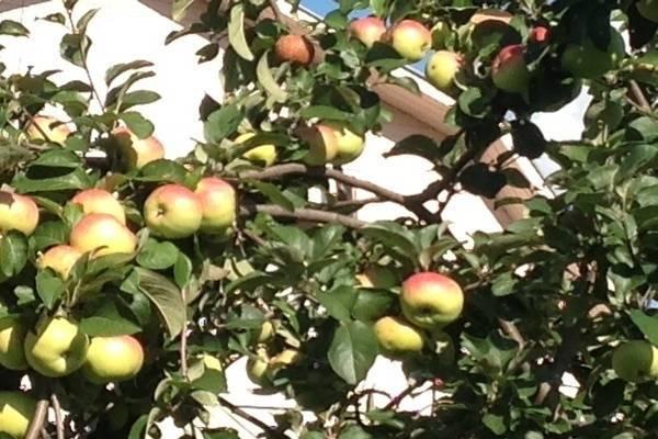 Описание сорта яблонь богатырский, преимущества и недостатки, выращивание в регионах