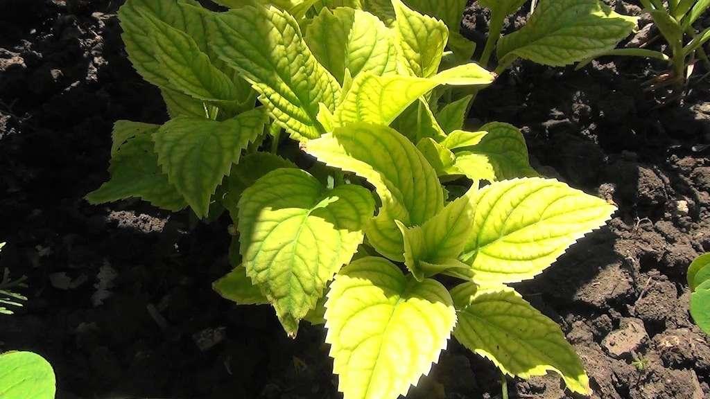 У гортензии желтеют листья: что делать, причины, чем подкормить