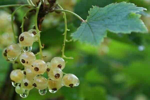 Смородина белая версальская — основные характеристики