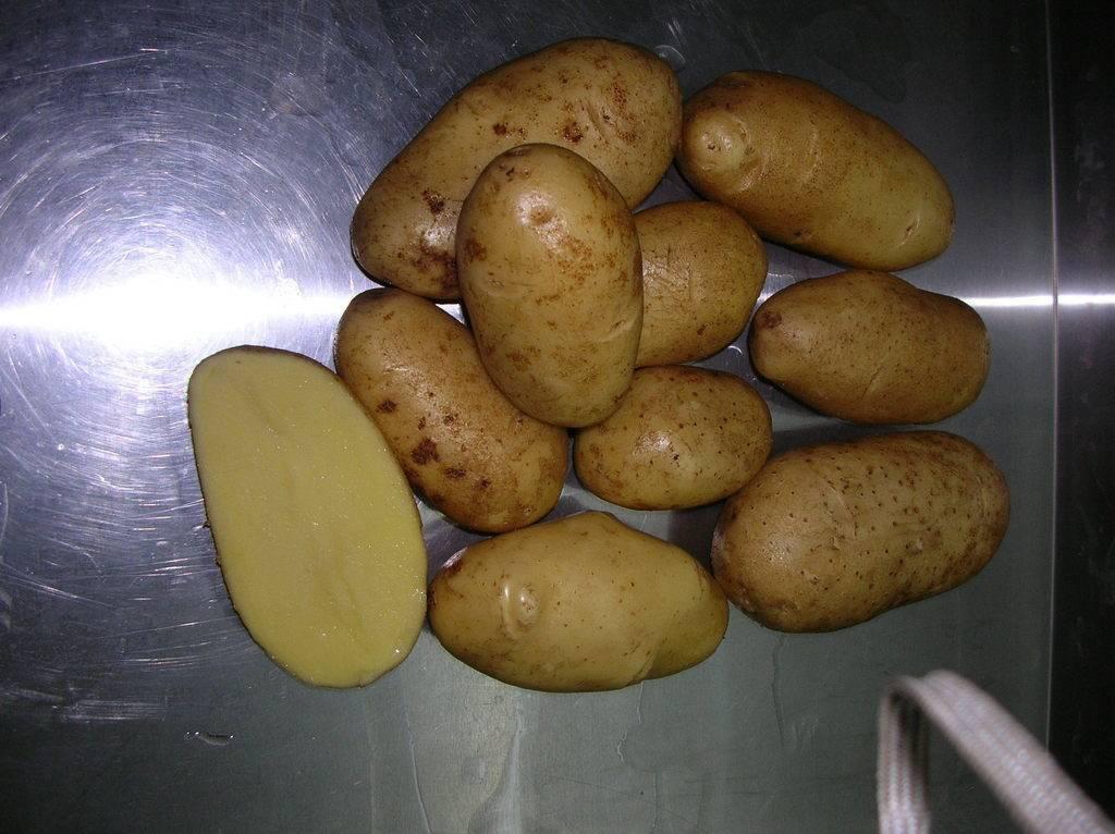 Урожайный и устойчивый к болезням сорт картофеля «королева анна»: характеристики, описание, фото