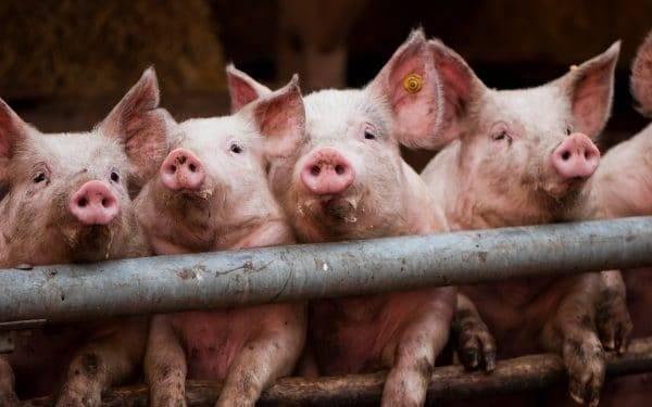 Чесотка у свиней