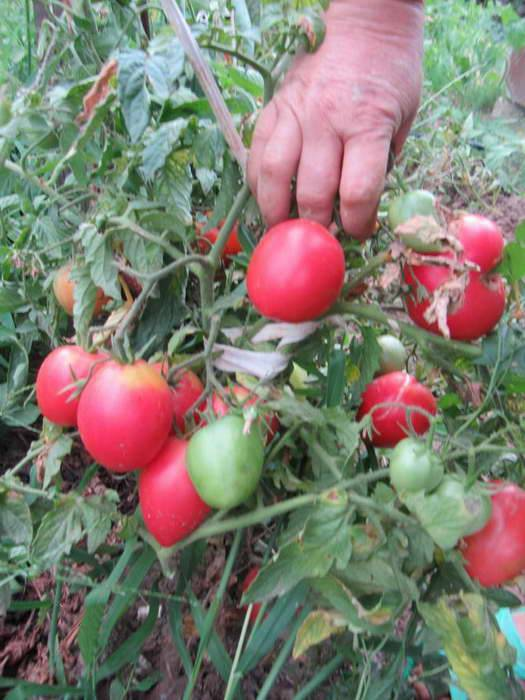 Сорт томата кемеровец