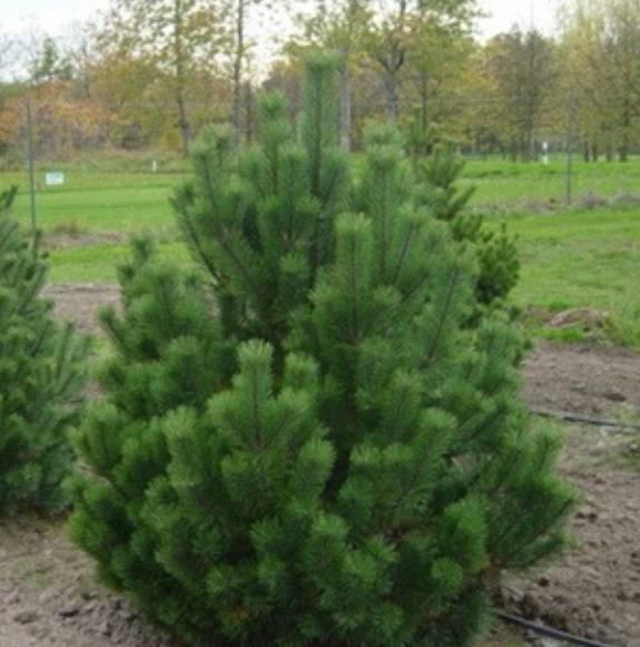 Как пересадить сосну? пересадка сосны из леса на участок. когда и как правильно посадить дерево весной и летом? чем подкормить после посадки?