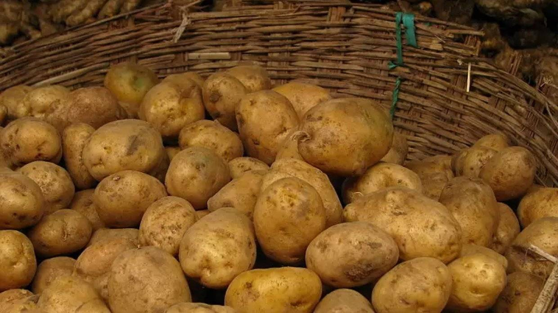 Описание сорта картофеля каменский