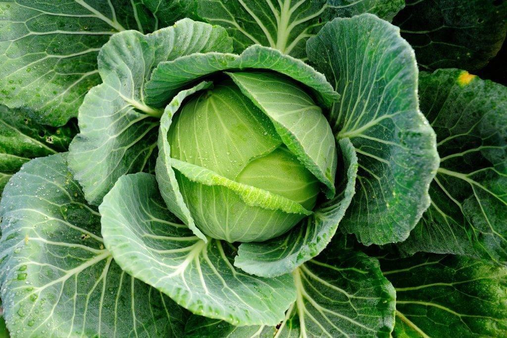 Капуста эластор f1: описание сорта, фото семян и отзывы