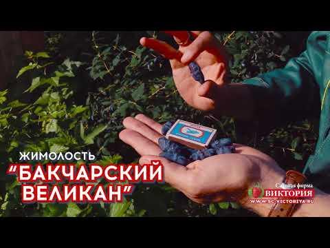 """Жимолость """"бакчарский великан"""": описание сорта, посадка и уход"""