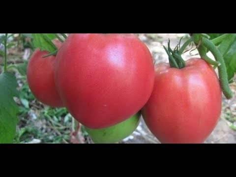 Урожайный сорт помидор сибирский тяжеловес: выращивание и уход