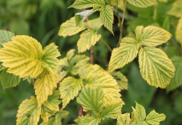 Почему желтеют листья смородины весной, в мае и что делать