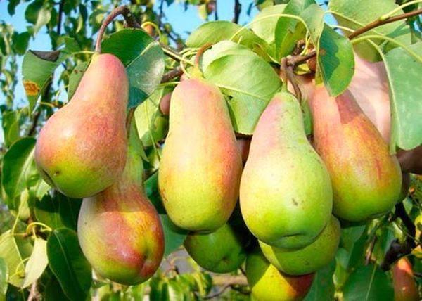 Самые вкусные сорта груши по отзывам садоводов