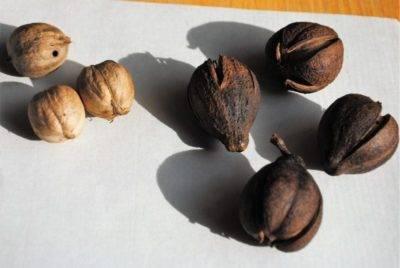 Нюансы проращивания грецкого ореха в домашних условиях. как прорастить орешек для посадки?