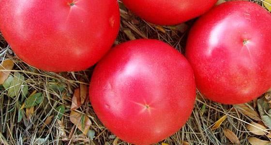 Томат розмарин — описание и характеристика сорта