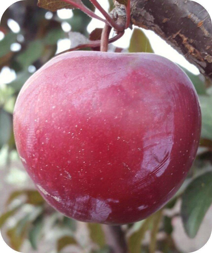 Слива аленушка: описание сорта и его фото, характеристики и особенности выращивания