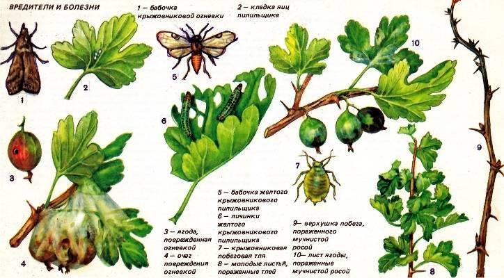 Обработка крыжовника: чем можно опрыскать растение от болезней и вредителей