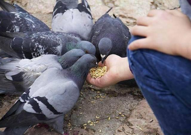 Сальмонеллёз у голубей: симптомы, лечение и профилактика болезни