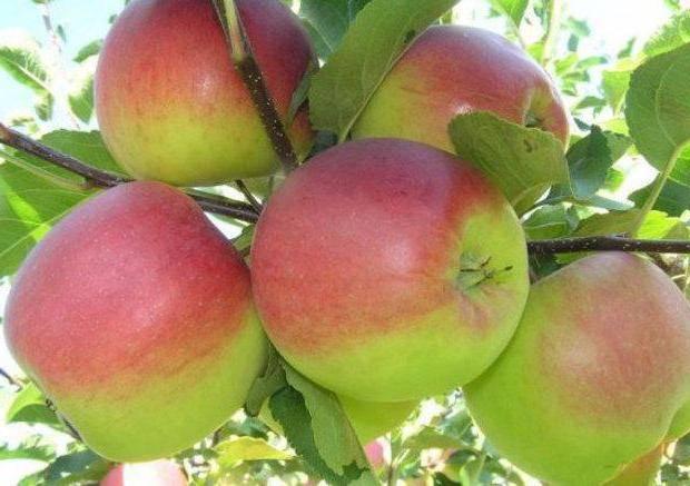 Яблоня башкирская красавица — подробная характеристика сорта